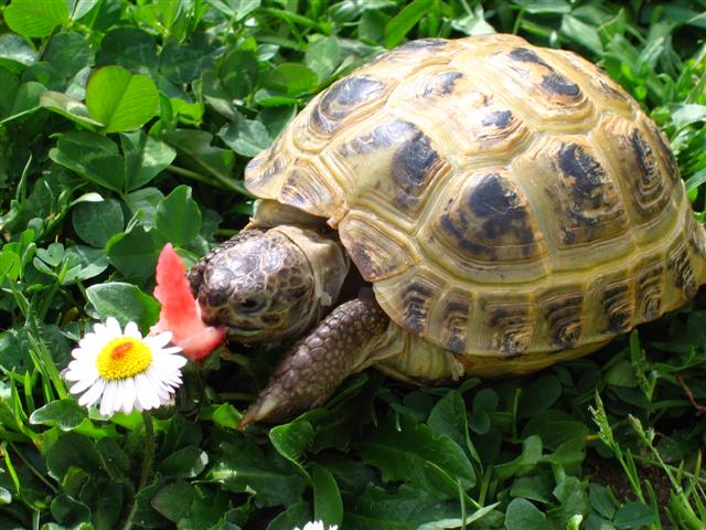 [Fiche] Agrionemys horsfieldii (Tortue des steppes) Horsfieldii