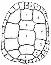 écailles de la dossiere d'une tortue