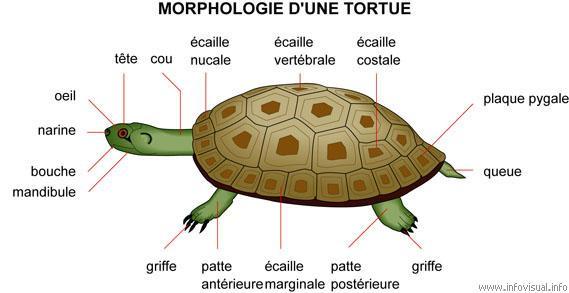 morphologie d'une tortue