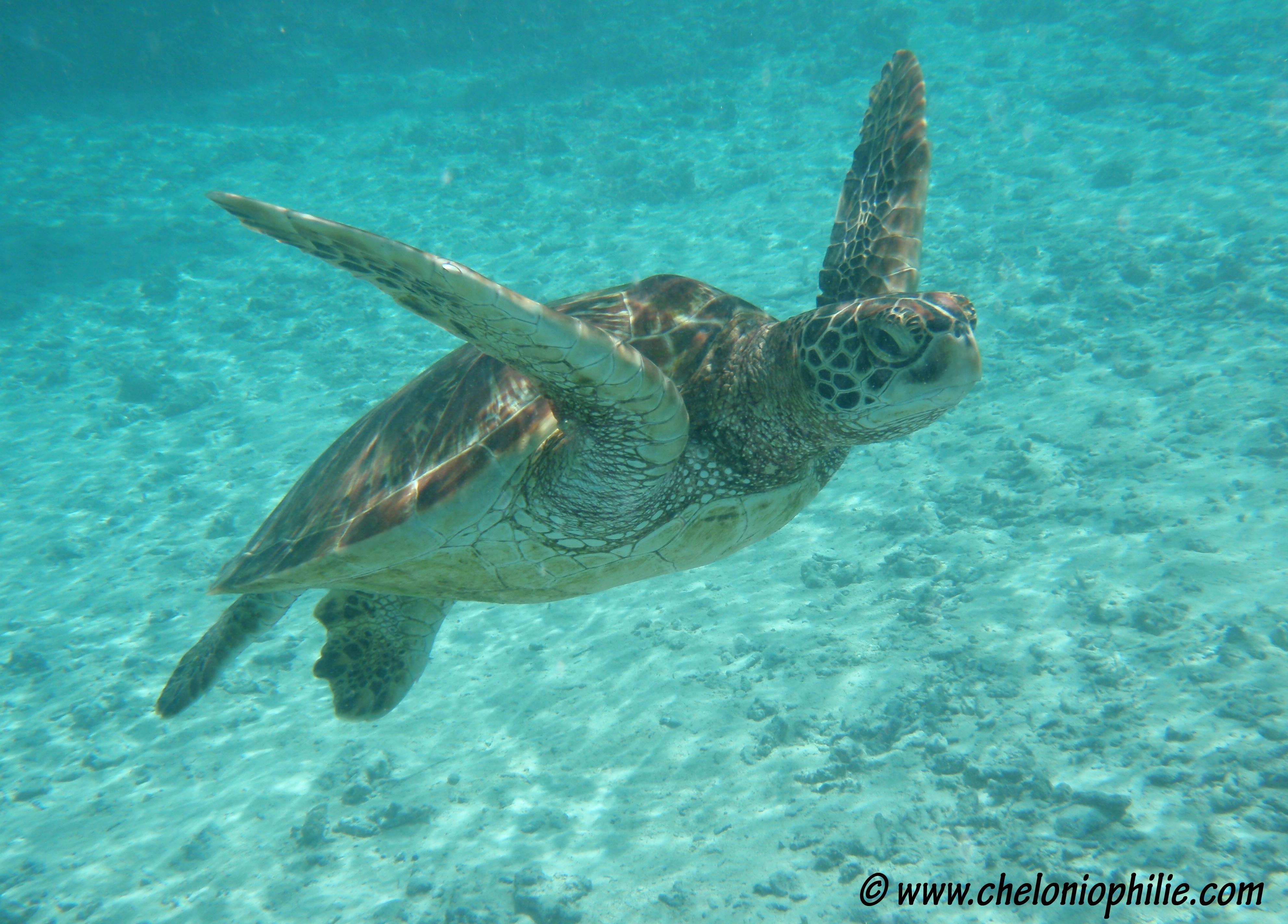 Fiche sur chelonia mydas - Images tortue ...