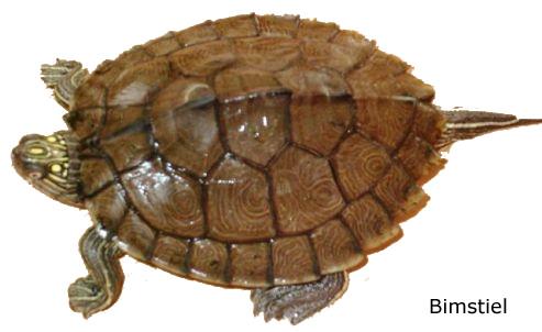 Graptemys sabinensis