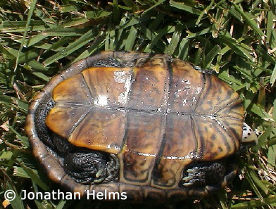 Malaclemys terrapin tequesta