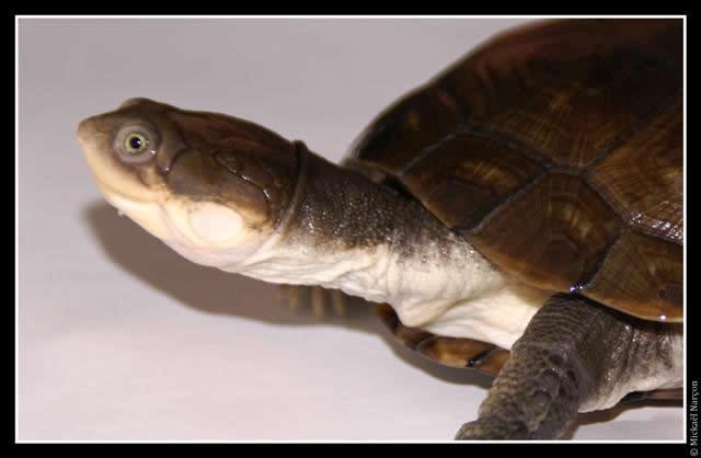 Fiche sur pelomedusa subrufa - Bassin pour tortue aquatique villeurbanne ...