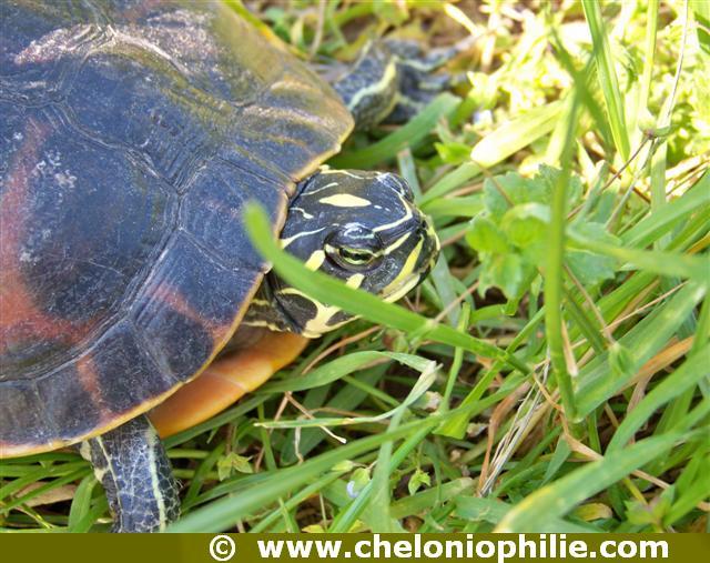tortue de Floride