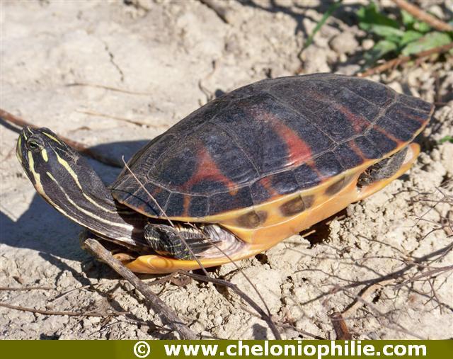 tortue noir et jaune