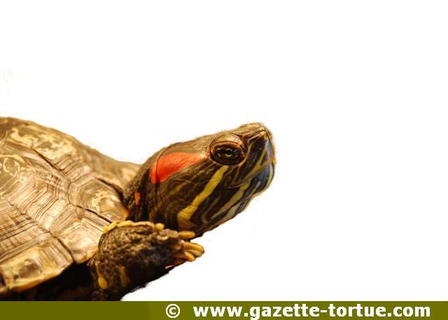 tortue à tempes rouge