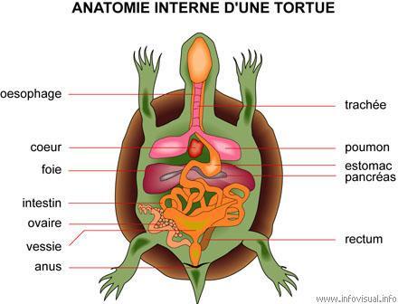 anatomie d'une tortue