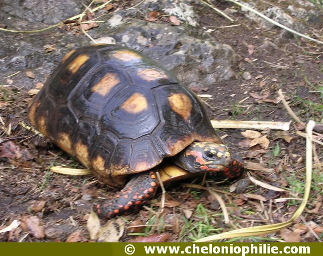 tortue charnbonniere
