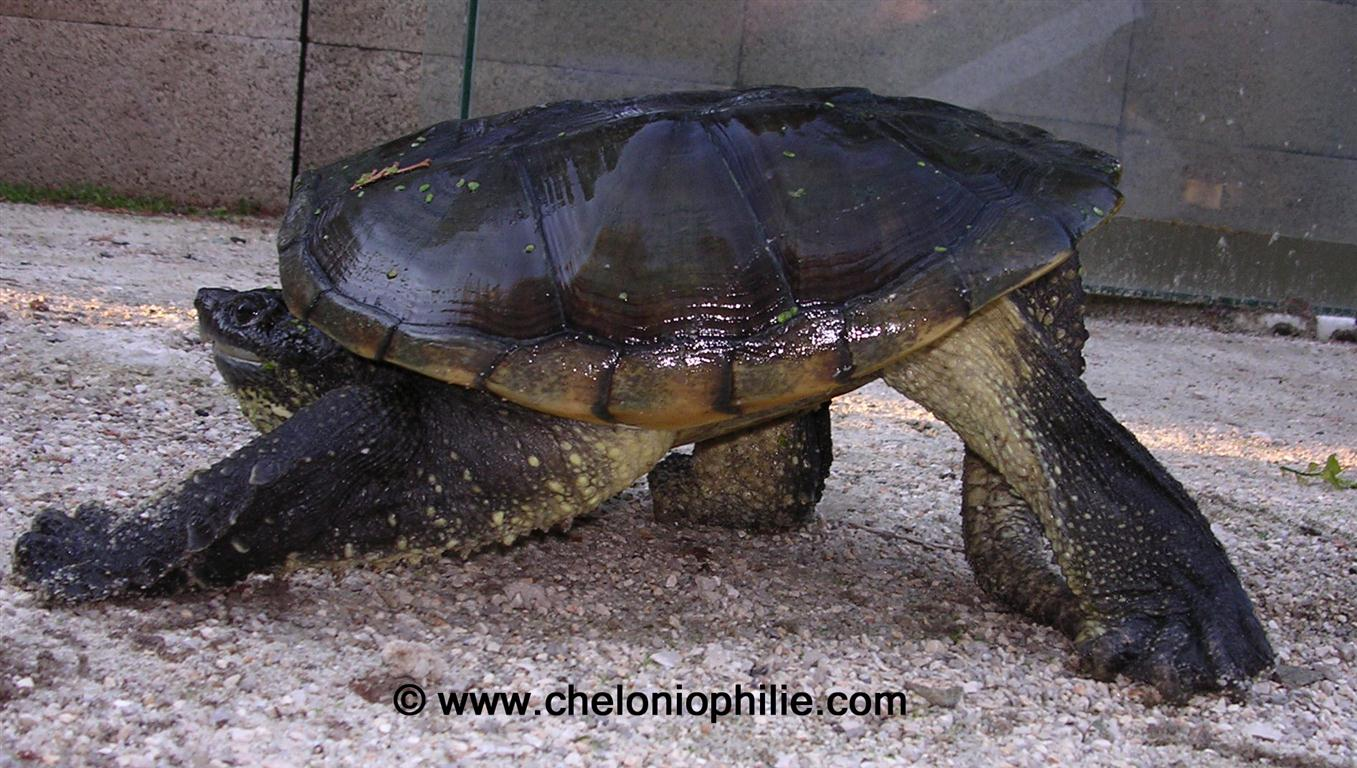 tortue serpentina