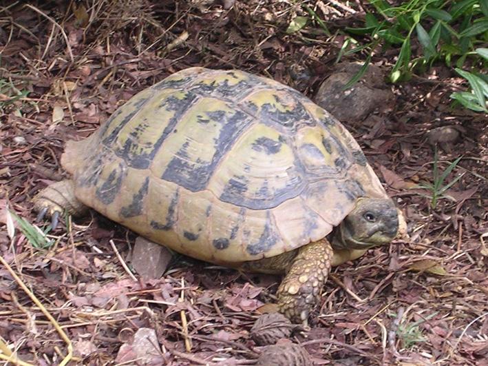 identifier une tortue terrestre