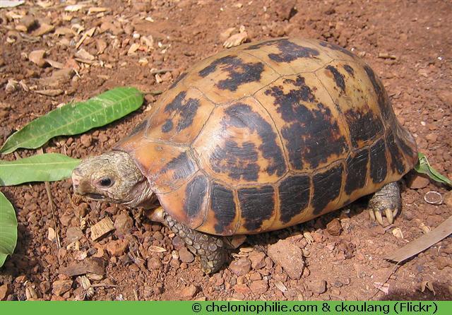 tortue elongata