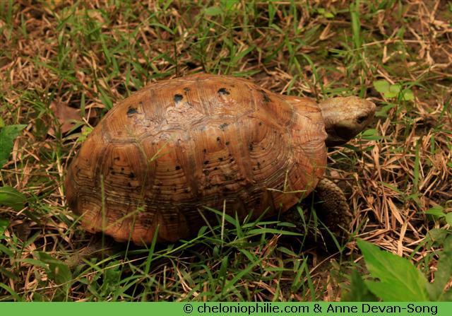 tortue à tête jaune